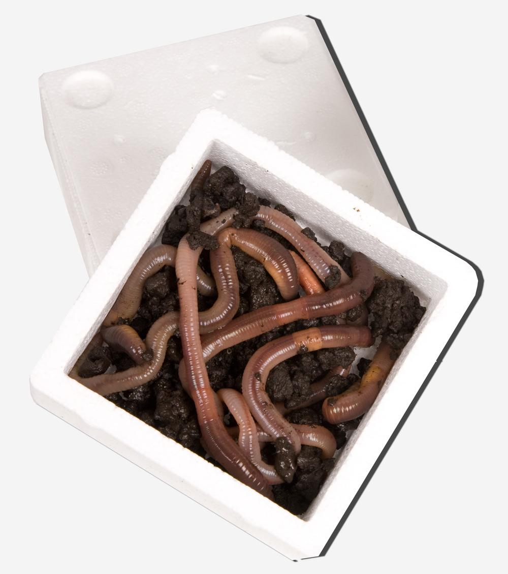 Kanadische Tauwürmer Angelköder 150 Stück Tauwurm Angelwürmer
